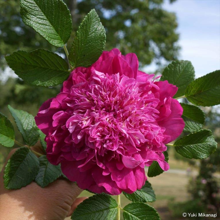 植物百般 インタビュー「ニュージーランドのバラ事情」JGN創立メンバー千葉県立中央博物館主任上席研究員/生物多様性センター 御巫由紀 'Trish's Rose'(トリッシュズ・ローズ)存在感のあるバラだ