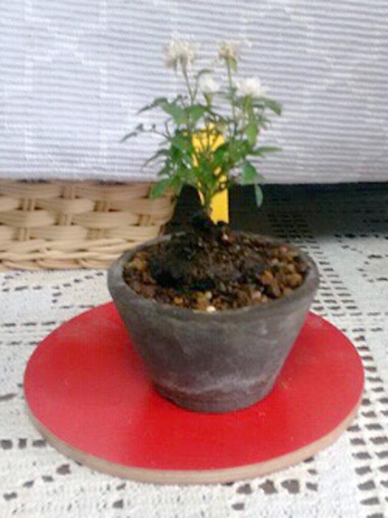 2018年6月30日 JGNスペシャルツアー 辻 幸治さんと行く浅草「お富士さん植木市」 好みの植物・珍しい植物をゲットするチャンス! 購入したバラの大きさは高さ3cmくらい。