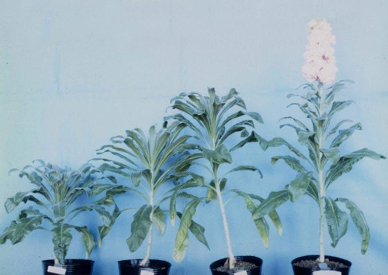 日本大学 教授 腰岡 政二 紹介ページ ストックの開花に及ぼす各種ジベレリンの影響調査