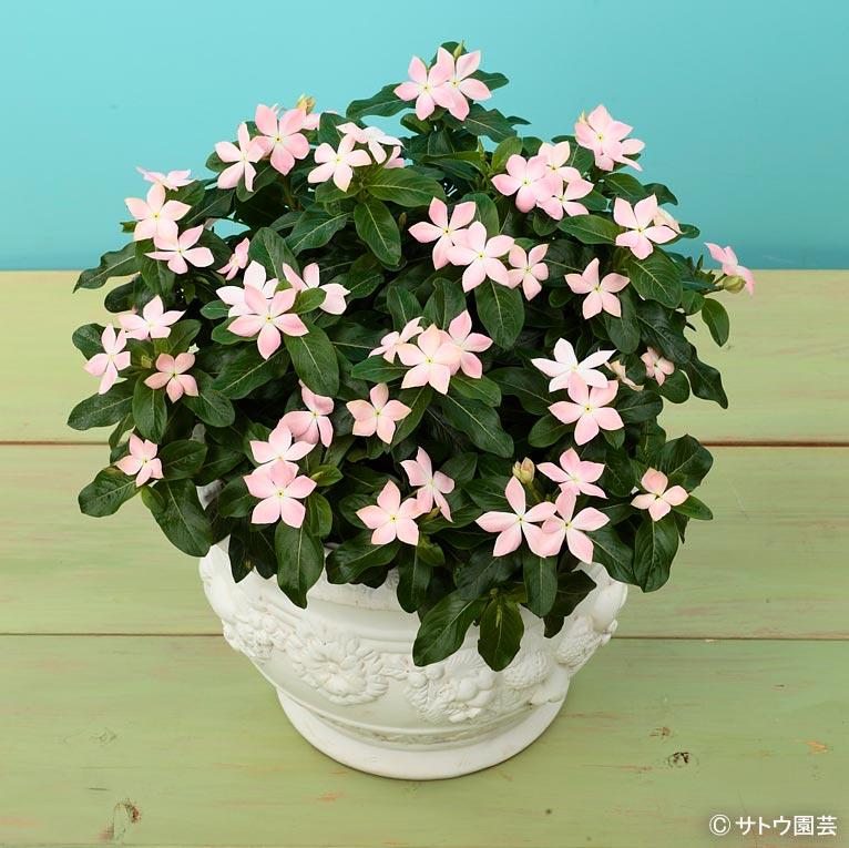 NURSERIES vol.16 サトウ園芸 Catharanthus roseus '初恋'