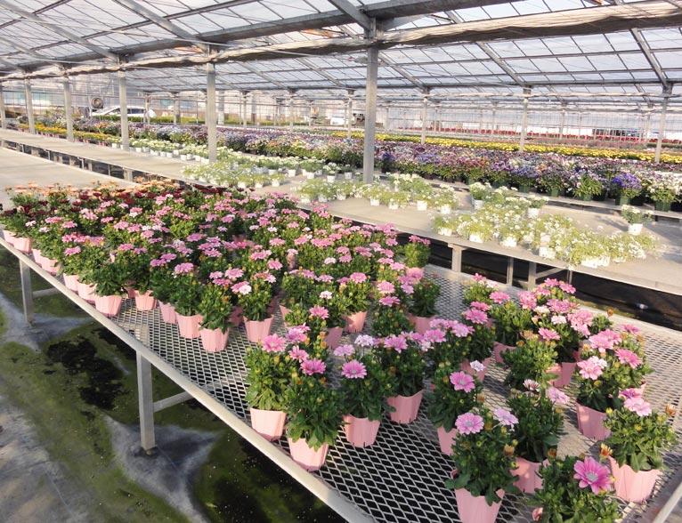 NURSERIES vol.16 サトウ園芸 ハウス内の色とりどりの花々