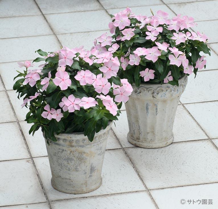 NURSERIES vol.16 サトウ園芸 Catharanthus roseus '涼夏'(左)と'涼ちゃん'(右)