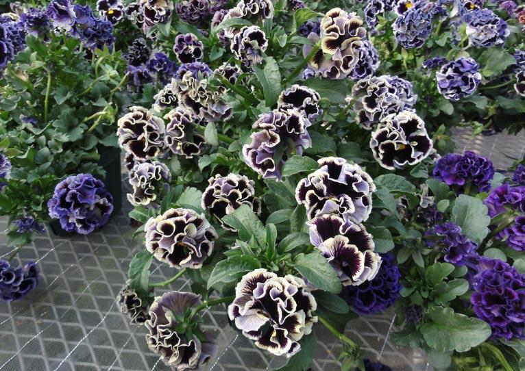 NURSERIES vol.16 サトウ園芸 Viola × wittrockiana 'ドラキュラ'