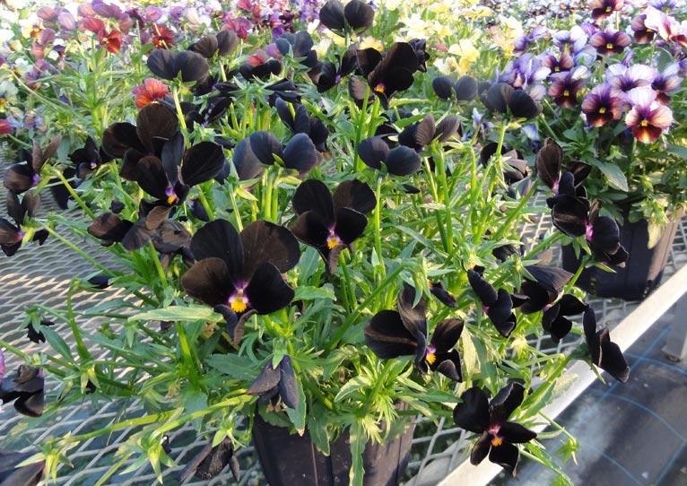 NURSERIES vol.16 サトウ園芸  Viola × wittrockiana 'ヌーヴェルヴァーグ'