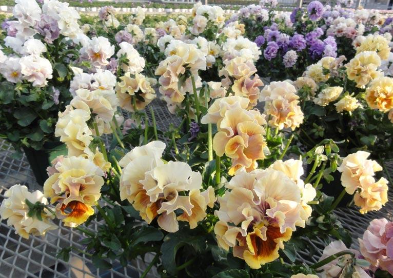 NURSERIES vol.16 サトウ園芸  Viola × wittrockiana 'ローブ・ドゥ・アントワネット'
