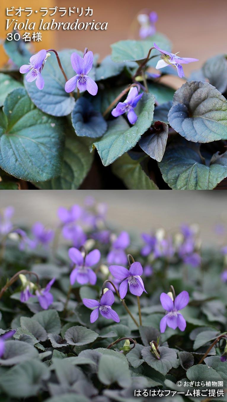 2018年8月7日~9月10日 JGN会員限定ビオラ種プレゼントキャンペーン ビオラ・ラブラドリカ  Viola labradorica  30名様 ビオラ 'ブラッシュストローク' Viora  ✕ wittrockiana  'Brushstroke'  黄色系&紫色系のセット 10名様 はるはなファーム様ご提供