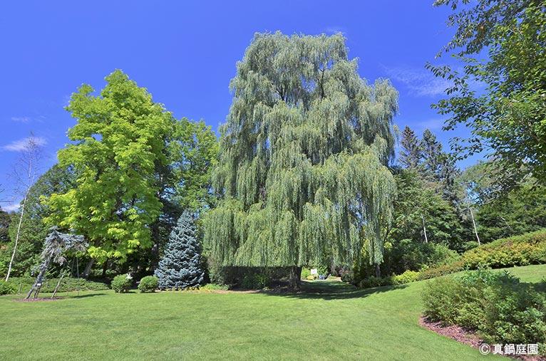 NURSERIES vol.17 真鍋庭園 中央の Salix alba 'Tristis'は、前年枝が鮮やかな黄色で枝垂れる姿が雄大