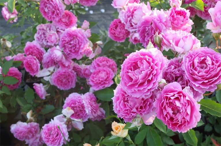 2018年11月2~4日 サンシャインシティ ローズガーデン 薔薇に魅せられた詩人たち