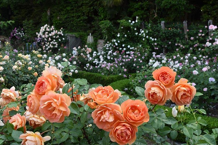2019年5月1~31日 花遊庭 ローズフェア~バラが最も美しい季節です~ ガーデニングミュージアム花遊庭