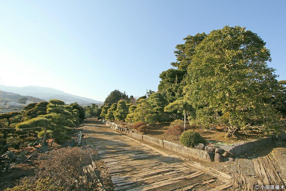 NURSERIES vol.20 小田原植木 中宿圃場には、主に和風庭園に使われる植木が集められている。