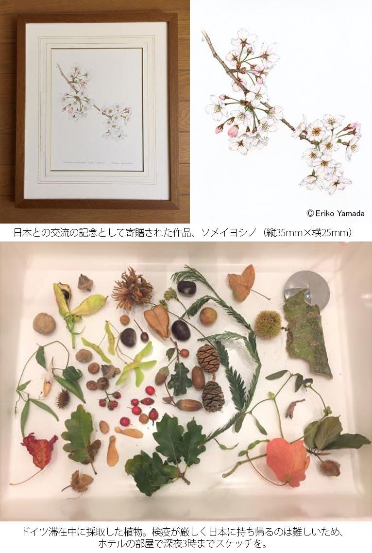 やまだえりこ植物画 マメ科のLotus 滞在中は、ドイツ植物園協会の総会出席、ドイツ植物園協会と日本植物園協会の交流会に参加、交流の記念としてドイツ植物園協会へ作品寄贈、広島の被爆樹木の植樹、7か所の植物園視察など盛りだくさん。ハードな工程ながらも、6泊8日お天気にも恵まれ実りある旅となりました。
