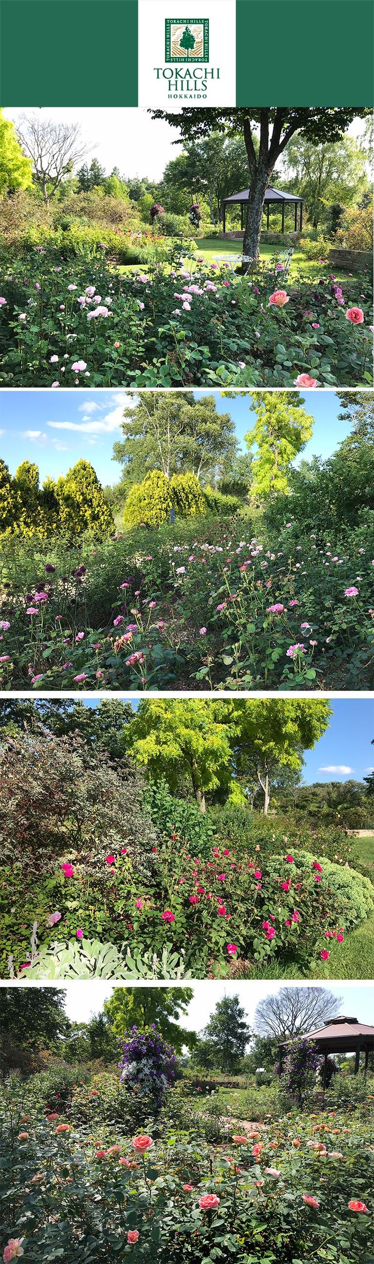 十勝ヒルズのバラが見頃を迎えています!