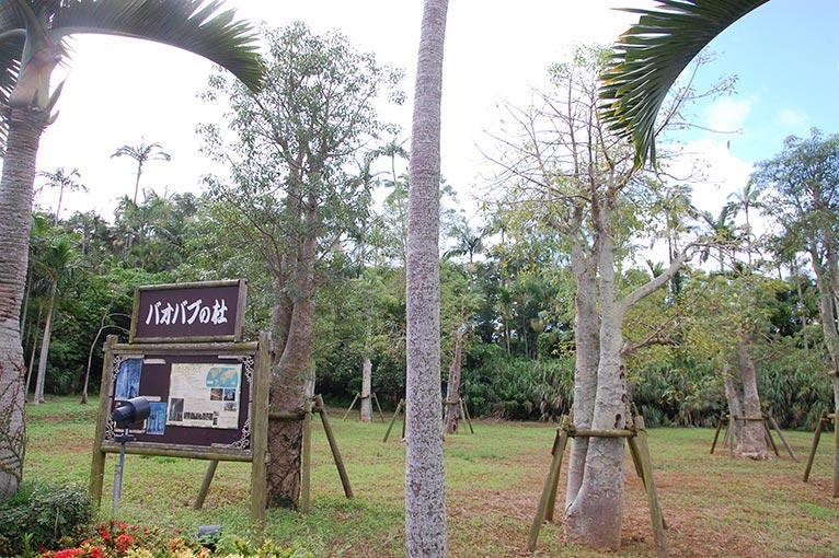 JGN事務局スタッフ 沖縄 東南植物楽園を訪れました!アフリカのサバンナ地帯に分布するバオバブ
