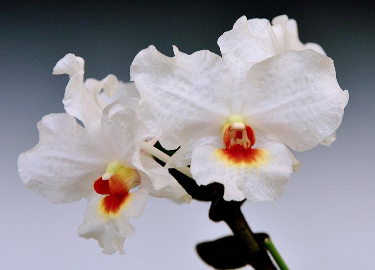 2020年1月9~13日 第59回全日本蘭協会洋らん展 サンシャインシティ世界のらん展2020 ~蘭でおもてなし~