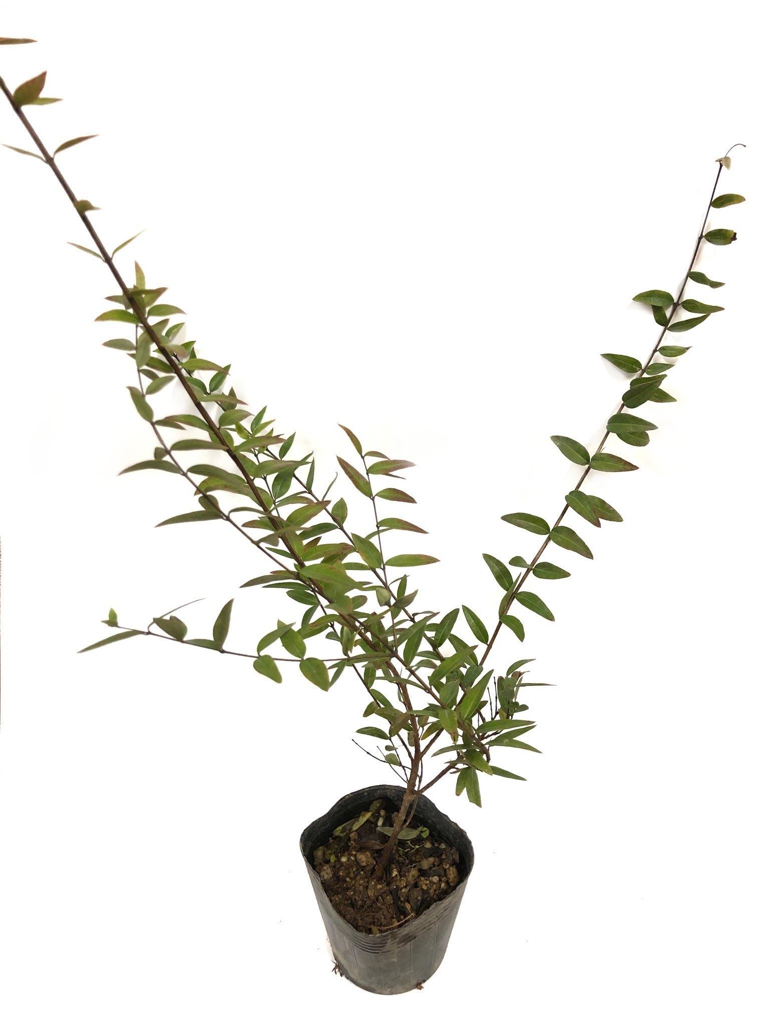 2020年1月27日~2月27日 JGN会員限定プレゼント! これからご入会の方もご応募いただけます! ちょっと珍しい樹木を育ててみませんか?第2弾シルキーベリーを2名様にご提供:金華園様シルキーベリーの苗7.5㎝ポットのイメージ