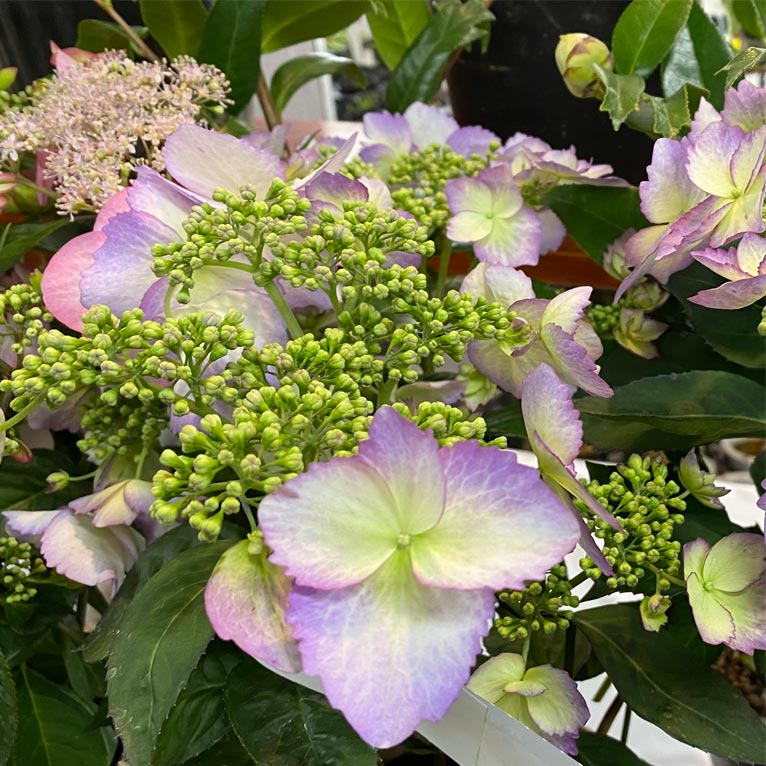 2020年3月6~8日 第27回 山草フェアー上野グリーンクラブ(東京) JGN創立メンバーの川原田さんが出展!常緑のアジサイ。花(萼)が綺麗なピンク色の株も