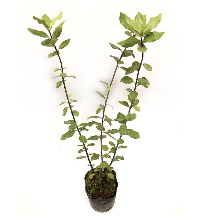 2020年2月28日~3月24日 JGN会員限定プレゼント!  これからご入会の方もご応募いただけます!ちょっと珍しい樹木を育ててみませんか?第3弾ピットスポーラムを2名様にご提供:金華園様