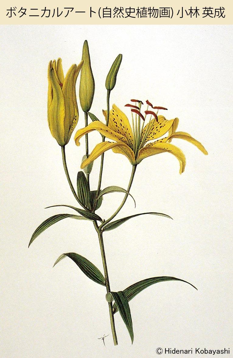 ボタニカルアート(自然史植物画) 目黒学園カルチャースクール 自然史植物画研究会 代表・植物画家・JGNメンバー 小林英成