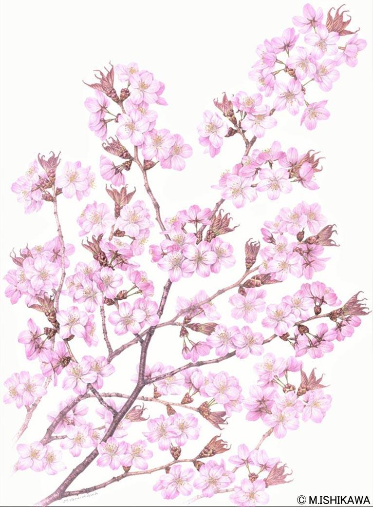 2020年2月22日~6月7日 第77回企画展 さくら展 ~まだ見ぬ桜(きみ)に逢いに行く~ ミュージアムパーク茨城県自然博物館 展示される石川 美枝子さんの作品