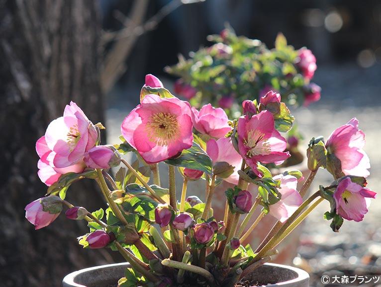 NURSERIES vol.25 大森プランツ Heleborus × hybridus「ウィンタービーナス」