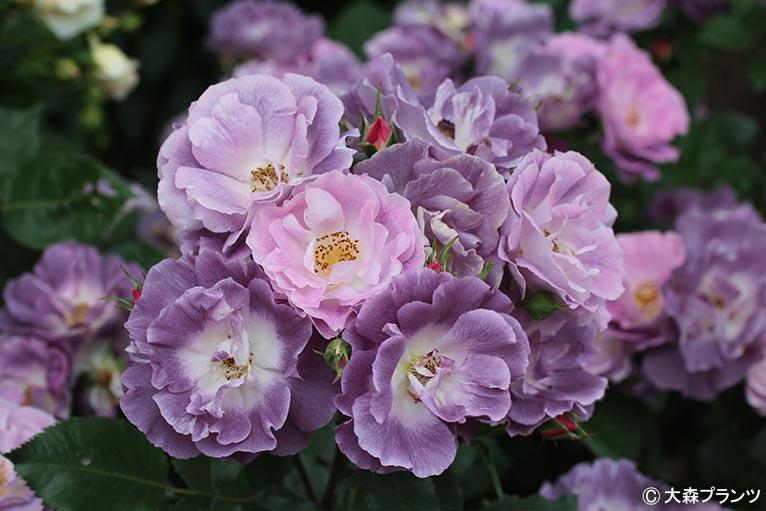 NURSERIES vol.25 大森プランツ Rosa 'Blue For You'