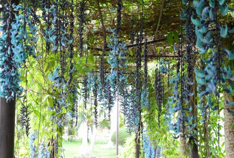 ヒスイカズラが見頃です! 東南植物楽園水上楽園いちむし村エリア・ヒスイカズラ 2020年3月15日撮影