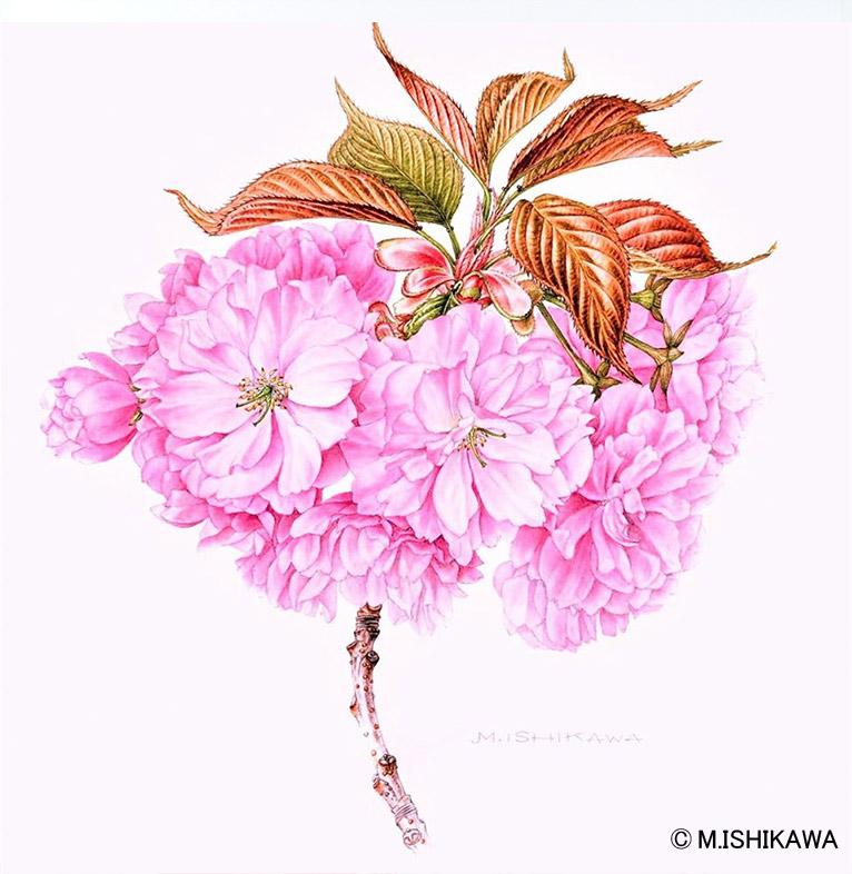 石川 美枝子植物画 Kanzan cherry 関山