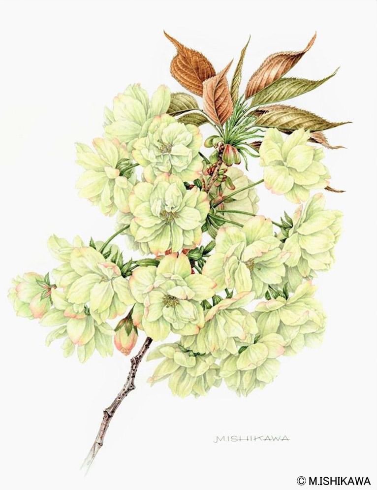 石川 美枝子植物画 Cerasus serrulata 'Grandiflora' ウコン(鬱金)