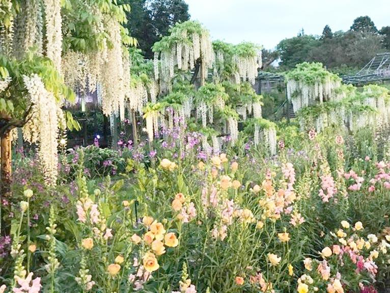 はままつフラワーパーク、フジと季節の花が満開... 吉谷桂子のガーデンダイアリー ~花と緑と豊かに暮らすガーデニング手帖~