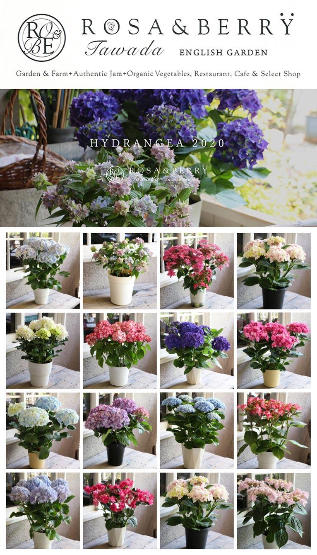 紫陽花(あじさい)販売/お電話にてご注文ください ROSE & BERRY Tawada ローザンベリー多和田