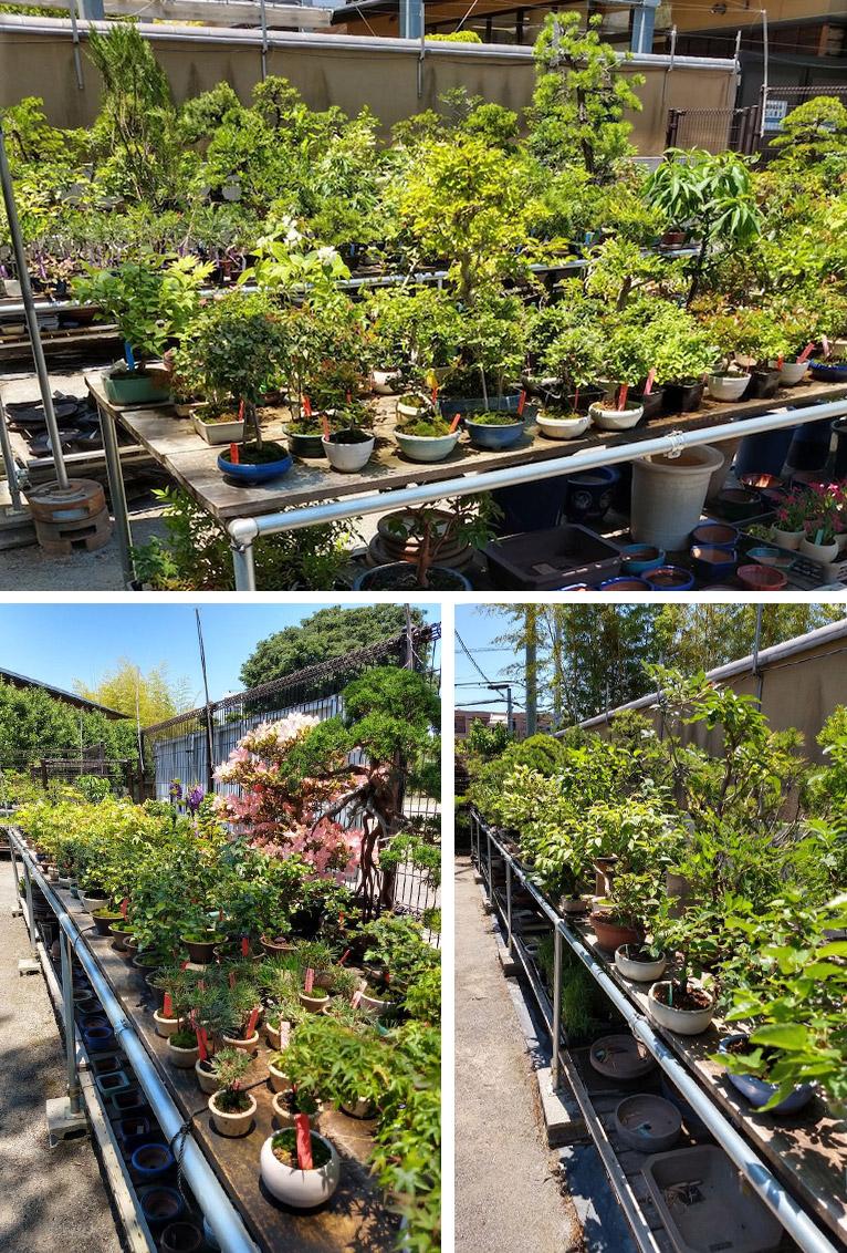 2020年5月29日~大宮盆栽美術館の開館に伴い、盆栽共同販売所の営業を再開いたしました。 九霞園