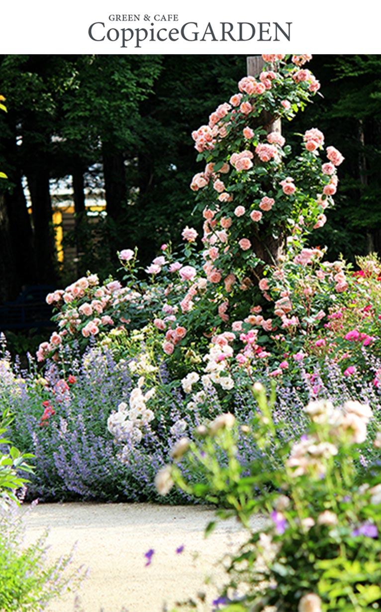 2020年6月27日ガーデンサポーターのお知らせ(バラ花後の選定と誘引) コピスガーデン