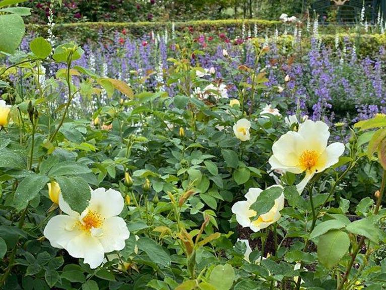 銀河庭園の6月、2日目ローズガーデン!!! 吉谷桂子のガーデンダイアリー ~花と緑と豊かに暮らすガーデニング手帖~