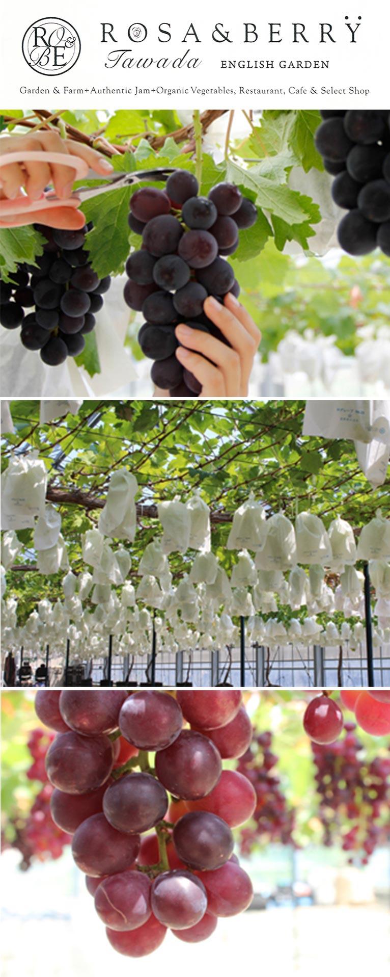 2020年8月22日~ 高級品種のブドウの摘み取り体験&無料エリアでの販売 ROSE & BERRY Tawada ローザンベリー多和田
