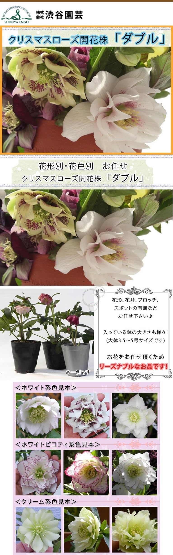 クリスマスローズ ダブル(八重)販売中!Yahoo!ショッピング植木鉢屋 株式会社 渋谷園芸