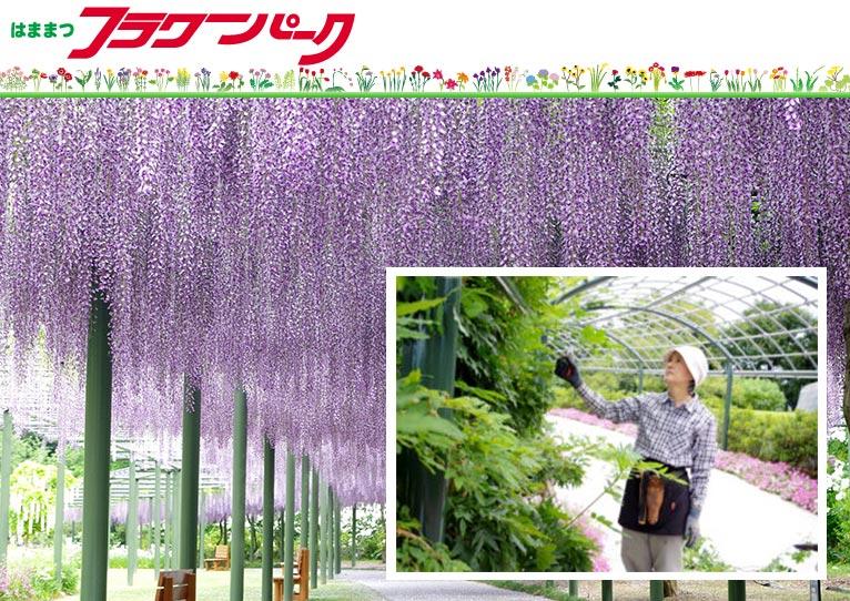 2021年4月29日(4月22日締切) 塚本こなみの園芸教室『美しいフジの咲かせ方』 はままつフラワーパーク