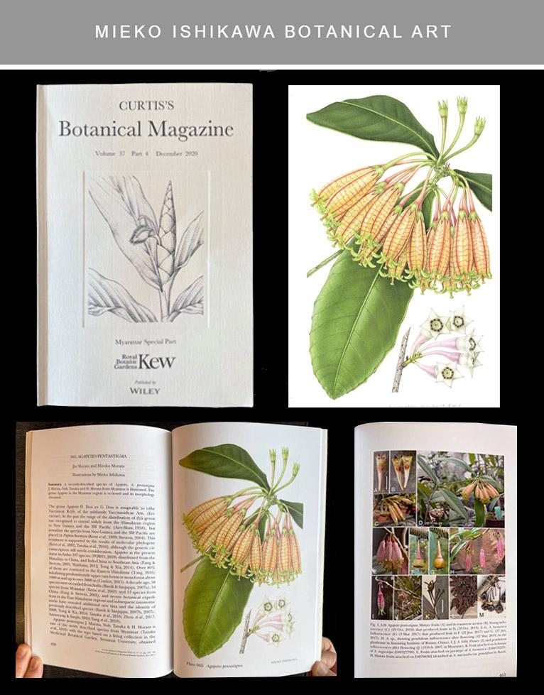 イギリスのキュー植物園から発行されているBotanical Magazine、Volume37, Part4, December2020号、ミャンマー特集号に Agapetes pentastigma のイラストレーションが掲載されました。 石川美枝子
