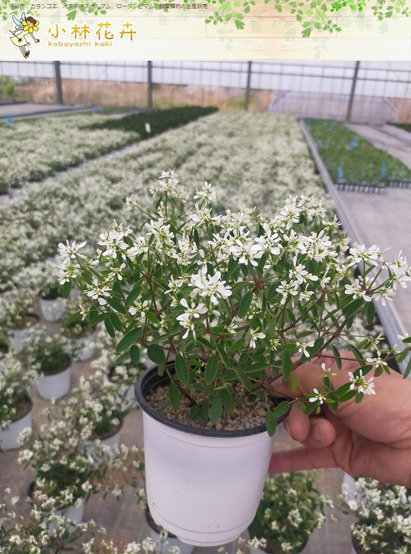 ユーフォルビア ダイヤモンドスノー 小林花卉