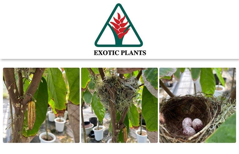 栽培中のカカオに実が付いたのですが、さらに驚く事に鳥が巣を作って・・・(有)エクゾティックプランツ