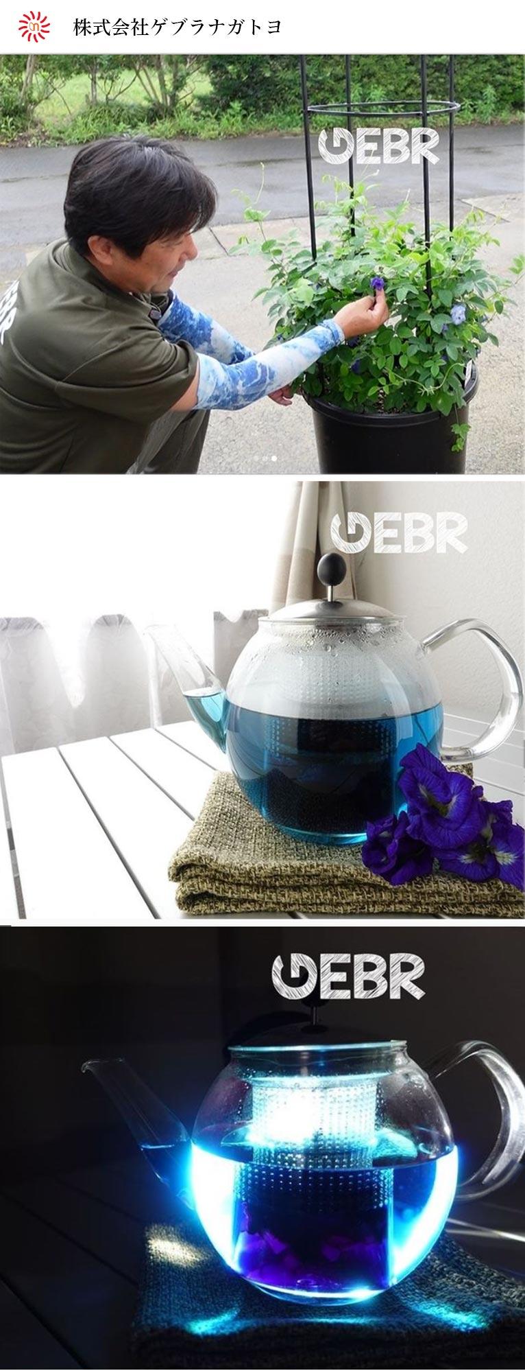 2020年発売、石垣島産のバタフライピーを収穫し、煮沸し青の色素を抽出しました。株式会社ゲブラナガトヨ