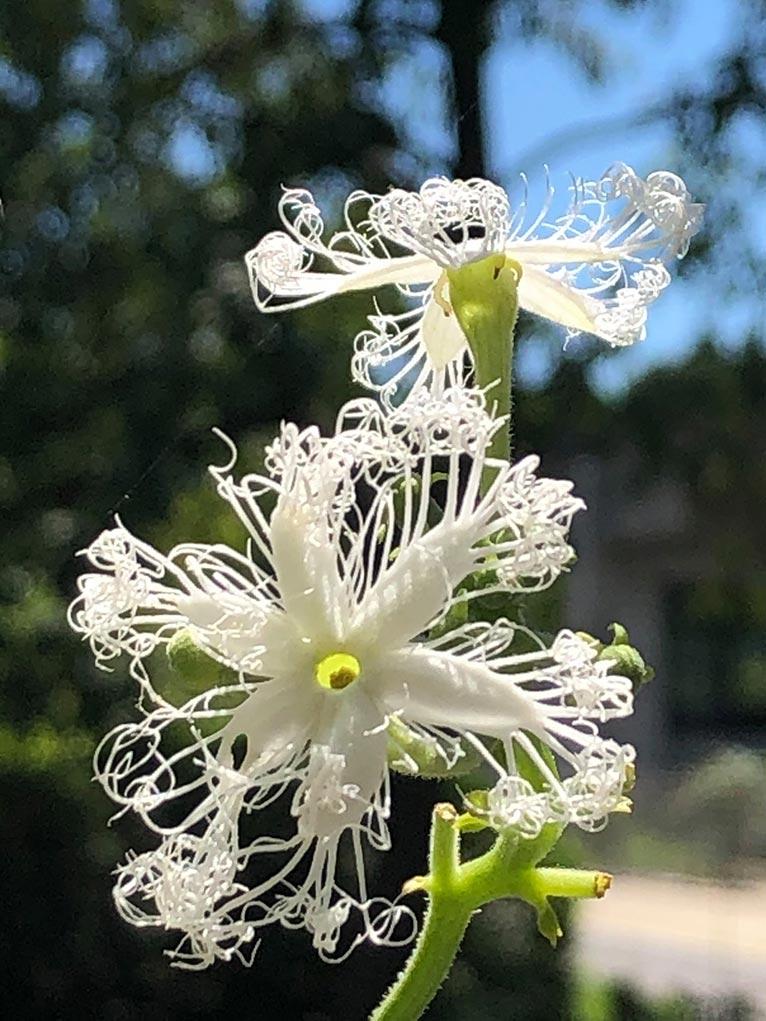 水戸市植物公園 Trichosanthes anguina ヘビウリ